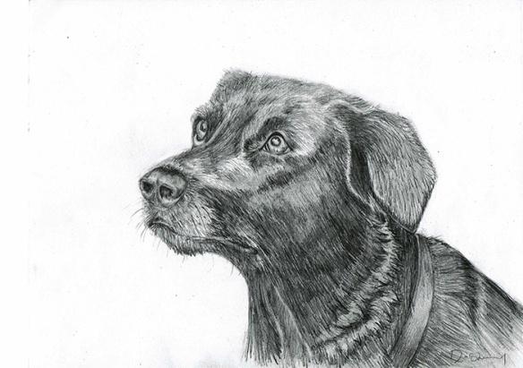 Pencil sketch of a Labrador