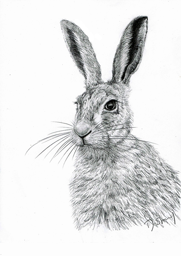 Pencil drawing of Norfolk hare